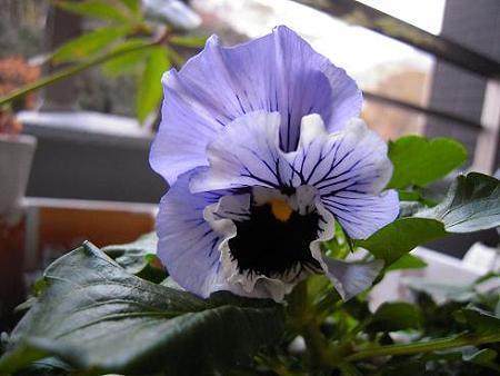 パンジーフリル咲き