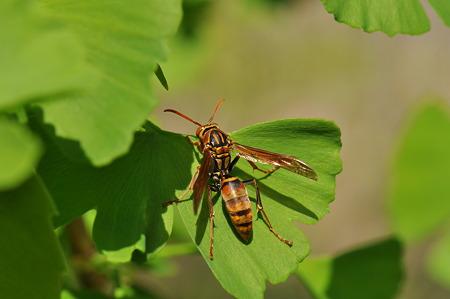 スズメバチ科 ヤマトアシナガバチ♀