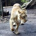写真: インドライオン