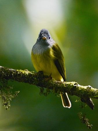 ハイムネヒタキ(Grey-headed Canary Flycatcher) P1050434_R2