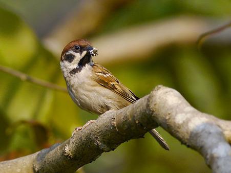 スズメ(Eurasian Tree-sparrow) P1080671_R