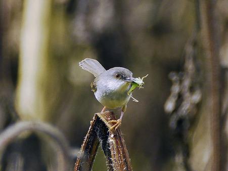 ハイムネハウチワドリ(Grey-breasted Prinia)P1050615_R