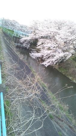 登戸ニヶ領せせらぎ館 桜