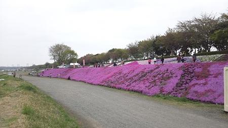 相模川芝桜2