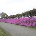 Photos: 相模川芝桜2