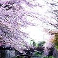 Photos: 春のまぼろし