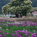 Photos: 栗の木と菖蒲