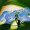 紫陽花の窓