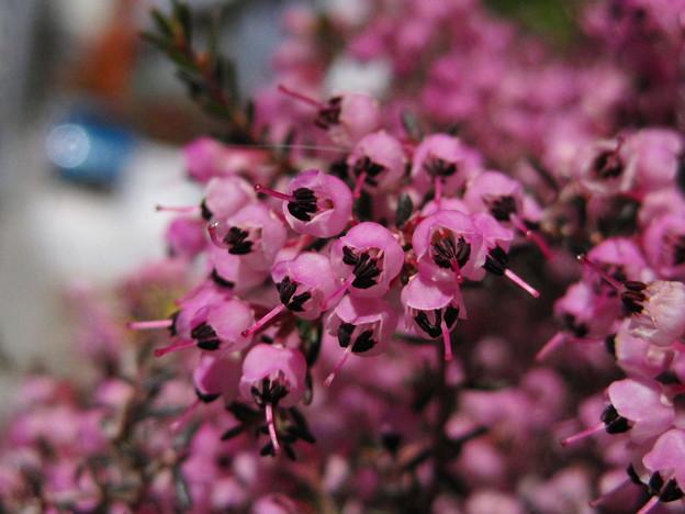 ジャノメエリカの花