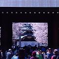 写真: 靖国の桜