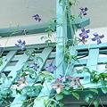写真: 真夏の2番花