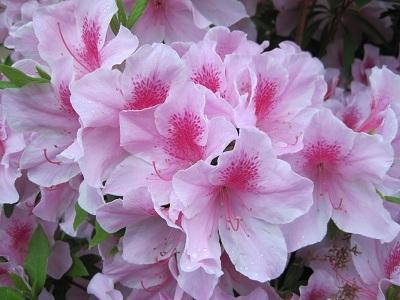皐月の花 2