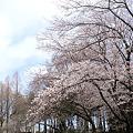 Photos: SAKURA2012