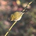 梅の小枝にとまるメジロ