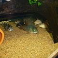 Photos: 20120318 60cmコリドラス水槽のコリドラス達