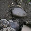 Photos: 田は干上がり、残るはヒメタニシ