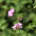 オオスカシバ(2011/08/28 愛知・東山植物園)