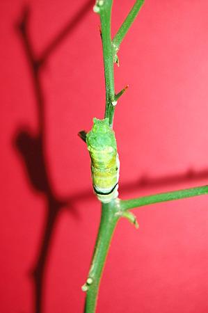 2011年09月10日_DSC_1162キアゲハの蛹化(脱皮の様子)