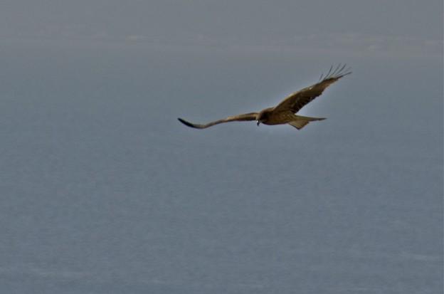 知多湾の海の上を滑空する鳶1