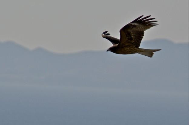 知多湾の海の上を滑空する鳶2