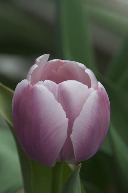 中身を大事に守っているかの様な花びら