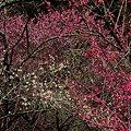 写真: 2011年2月28日 洞慶院 梅園(6)