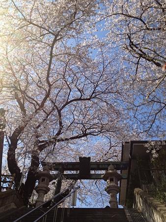市ヶ谷の亀ヶ岡八幡宮の桜がみごと!