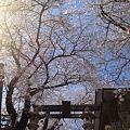写真: 市ヶ谷の亀ヶ岡八幡宮の桜がみごと!