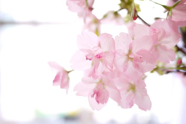 写真: 可憐な旭山桜
