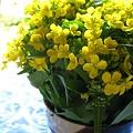 Photos: 菜の花のブーケ