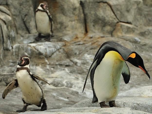 お辞儀?をするオウサマペンギンと…