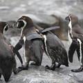 肩を組むペンギンたち