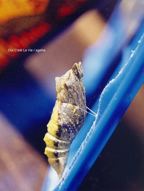 キアゲハ飼育(羽化前日に色づく蛹)