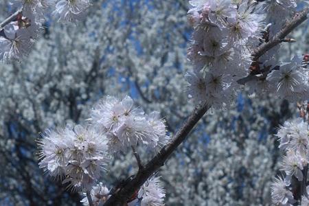 梅と桜の競演