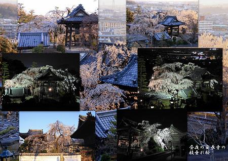 昼夜の安長寺の枝垂れ桜