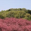 都賀の里・八重桜