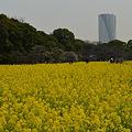 菜の花~春