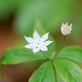 Starflower 5-28-11