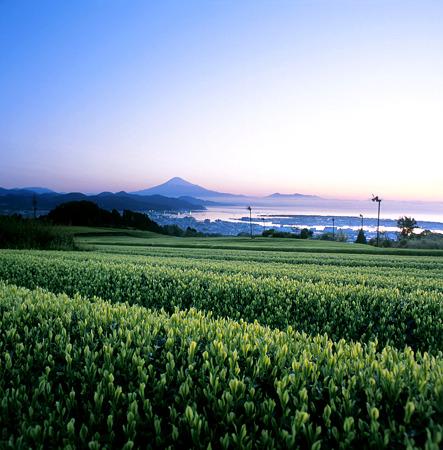 日本平の茶畑と富士山