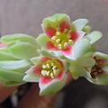 写真: パキフィツムのお花