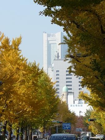 111130-横浜 紅葉  山下公園通り (10)