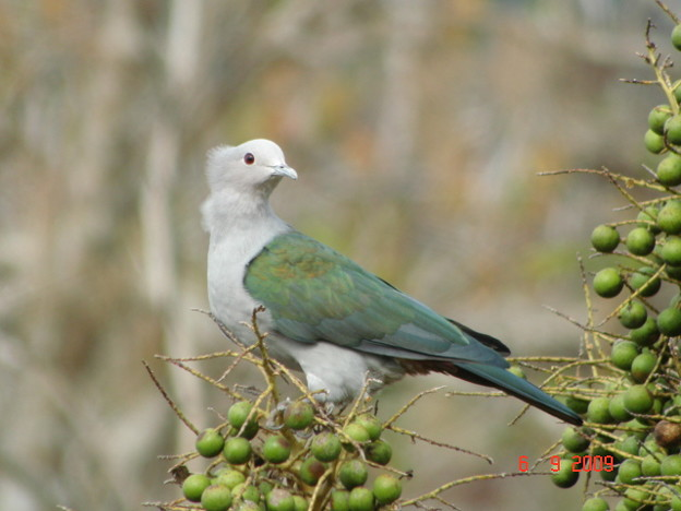 Green Imperial Pigeon2377