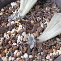葉ざしから芽が出ていた