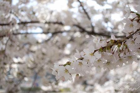 松本の桜 NEX-5 SEL30M35