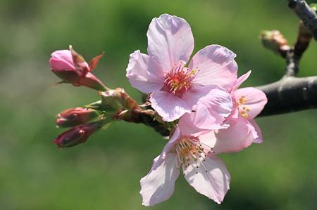 2011.11.04 和泉川 桜