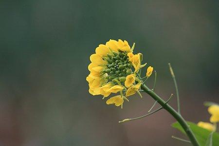 2011.12.23 和泉川 菜の花