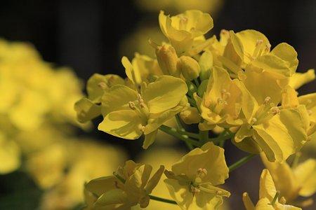 2012.03.27 和泉川 菜の花