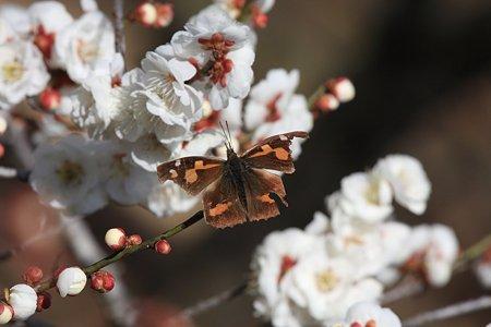 2012.03.29 吉野梅郷 梅の公園 テングチョウ