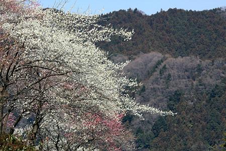 2012.03.29 吉野梅郷 梅の公園東口