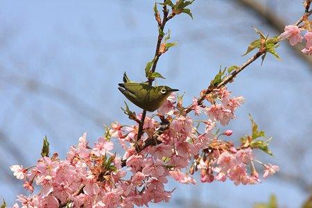 2012.04.02 和泉川 サクラにメジロ